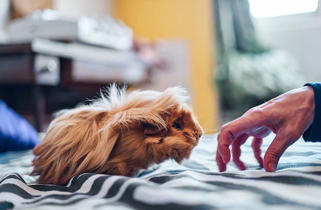 Close-up of a woman's hand with a red and long-haired guinea pig on the bed at home.