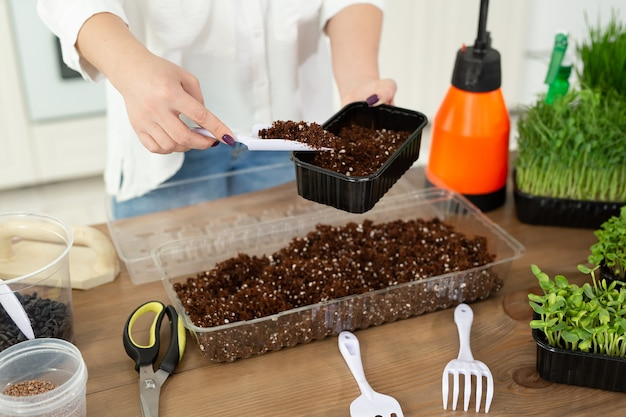 Close-up of a woman's hands, a farmer is pouring soil, earth into a tray for planting micro-green seeds.
