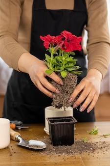 Крупным планом женские руки вынимают цветок петунии из горшка перед посадкой