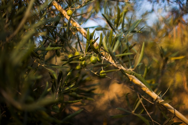 Close-up of wooden stick on olive tree