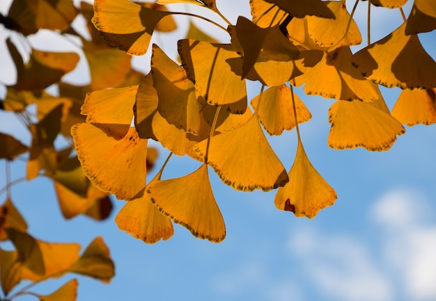 Close up yellow autumn chinese ginkgo biloba tree leaves over blue sky, low angle view