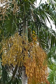 Заделывают желтый орех бетеля на пальме