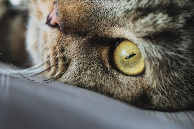 Close up yellow cat eye, american shorthair