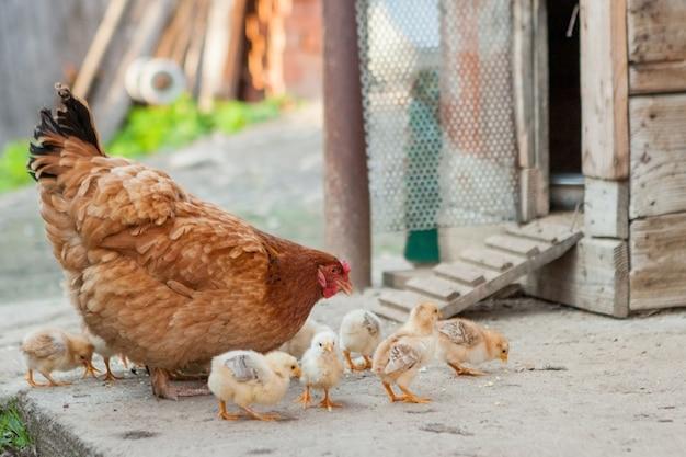 Крупным планом желтых цыплят на полу, красивые желтые маленькие цыплята, группа желтых цыплят