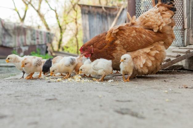 Закройте желтых цыплят на полу