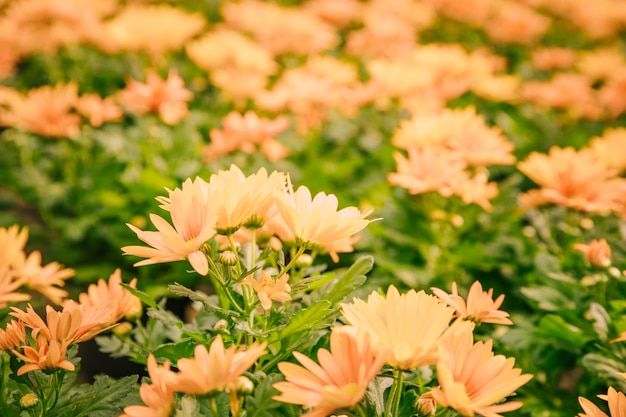 Close-up of yellow chrysanthemum flowers in bloom
