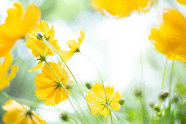 Close up yellow cosmos flowers