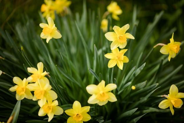 Макро желтые нарциссы в зеленой траве