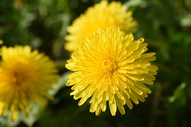 Close up of yellow daisy dandelions grow on the field