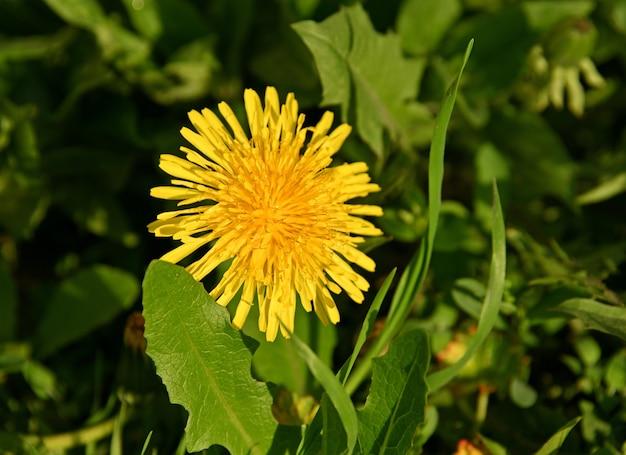 緑の草、高角度のビューで黄色のタンポポの花を閉じる