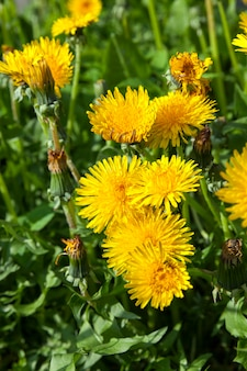 Close-up of yellow dandelions in springtime, shallow depth of field