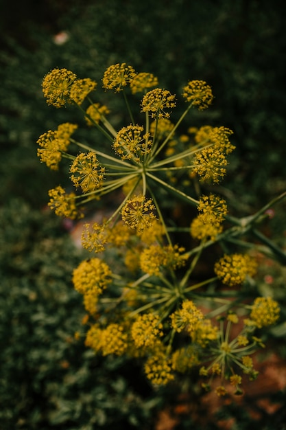 Close-up of yellow dill flowers