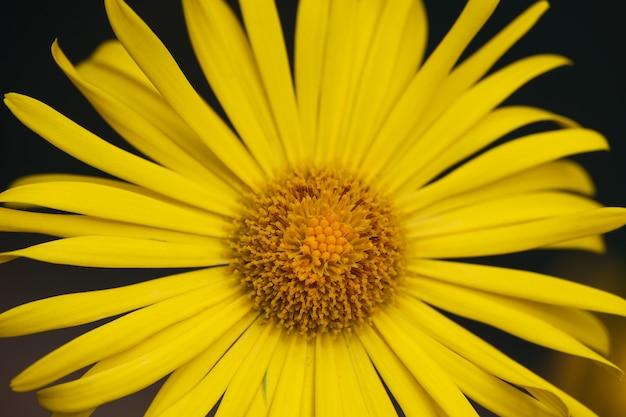 노란색 도로니쿰 또는 레오파드 베인 꽃을 닫고, 바로 위의 높은 각도 보기