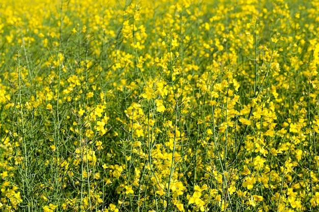 Крупным планом желтый цветок изнасилования, растущий в сельскохозяйственном поле