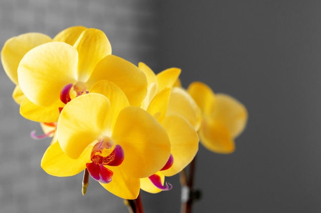 Close up of yellow flowers of orchid on blurred
