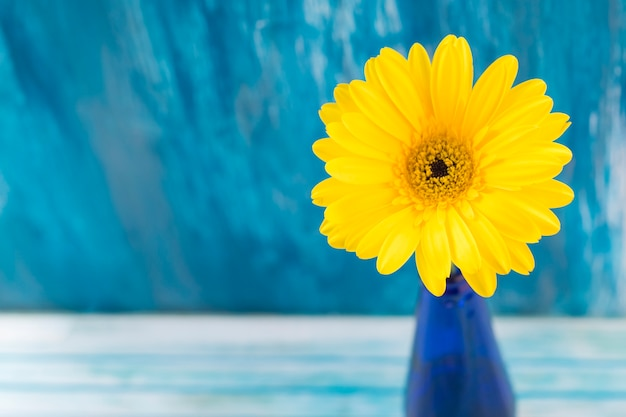 Close-up of yellow gerbera flower against blue backdrop