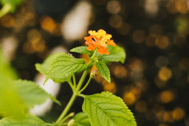 Close up yellow hydrangea