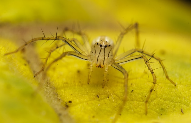 Close up of yellow jumping spider or burmese lynx spider on the yellow leaf