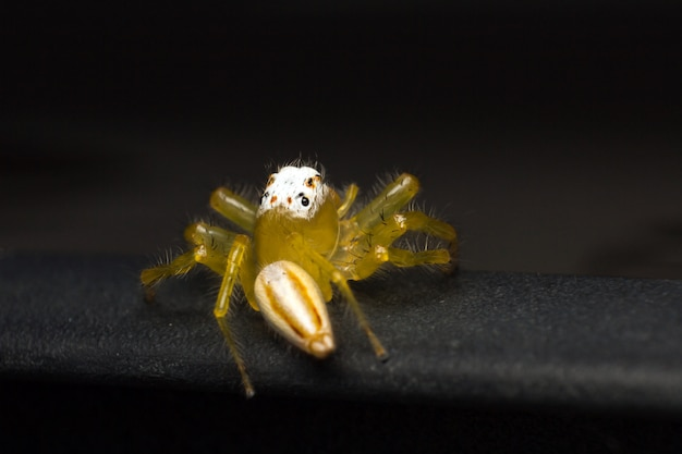 Close up of yellow jumping spider or telamonia spider on black car roof