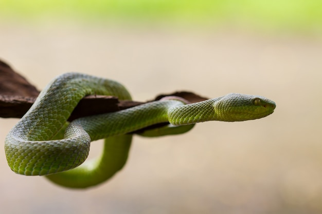 Close up yellow-lipped green pit viper snake