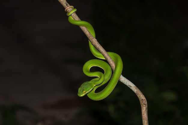 Close up yellow lipped green pit viper snake