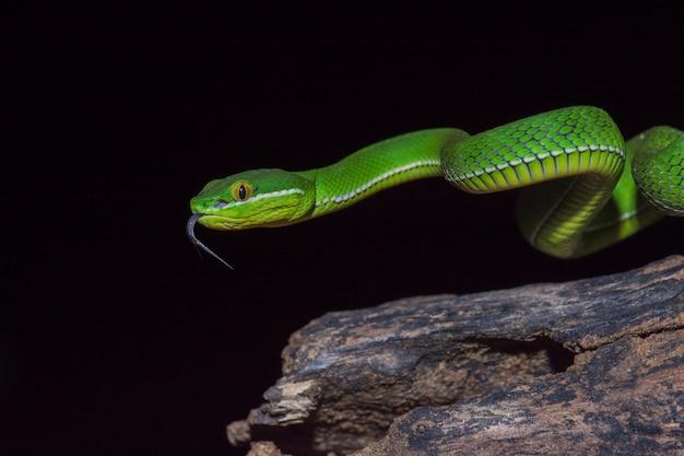 Close up yellow lipped green pit viper snake