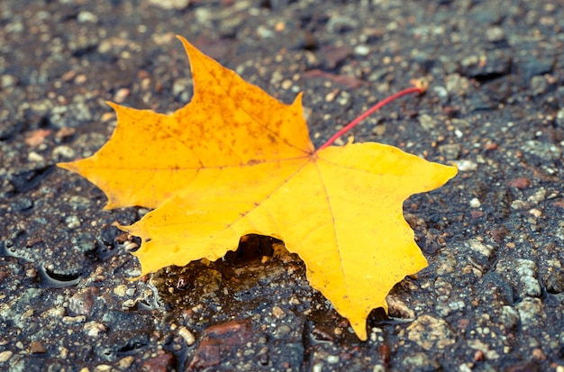 Close-up of yellow maple leaf on the wet road, leaf fall, seasonal concept picture