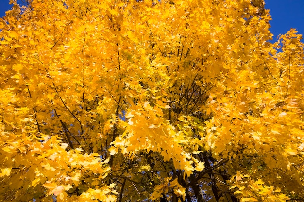 Close up on yellow maple leaves