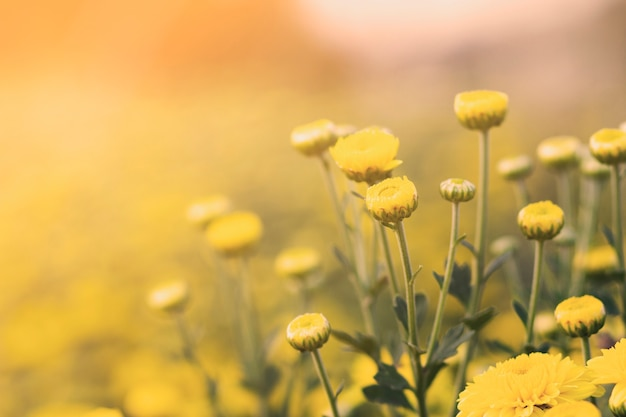 Close up of yellow marigold and blur background
