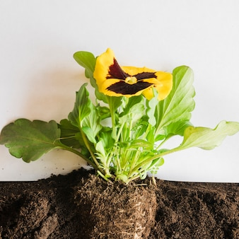Close-up of yellow pansy flower inside the soil against white background