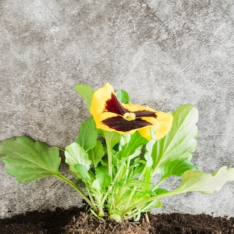 Close-up of yellow pansy flower in the soil against concrete backdrop