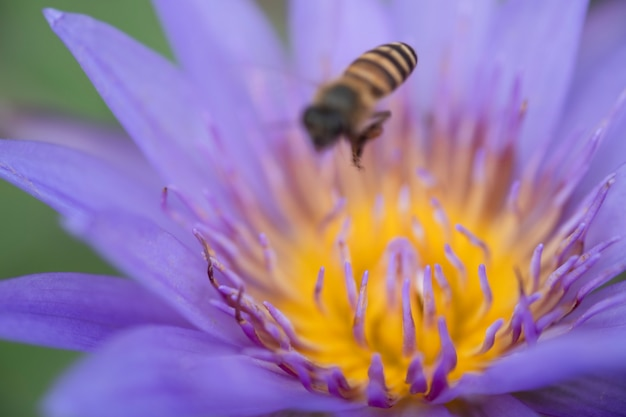 Close up yellow pollen of violet lotus or water lily with bees.