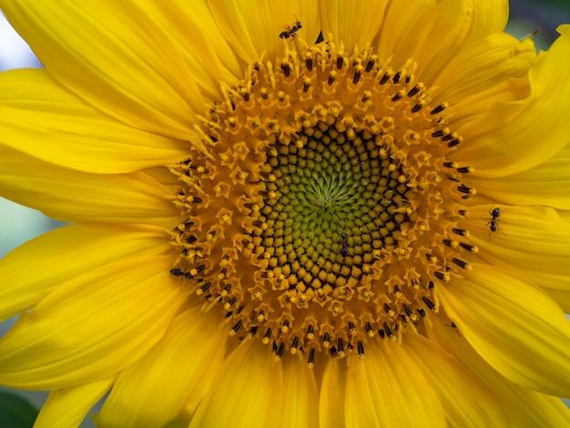 개미 버그를 행진하는 곤충이 있는 클로즈업 노란 해바라기