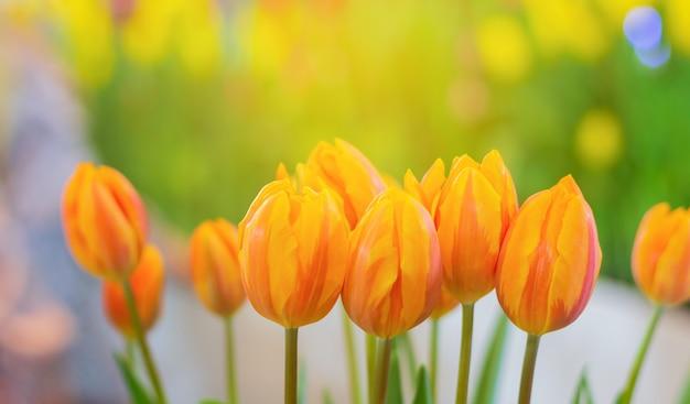 クローズアップ、黄色いチューリップが穏やかな日差しの日に自然の庭園に美しく咲いています。愛のチューリップの花