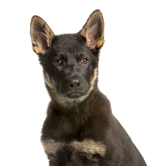 Close-up of a young belgian shepherd looking away