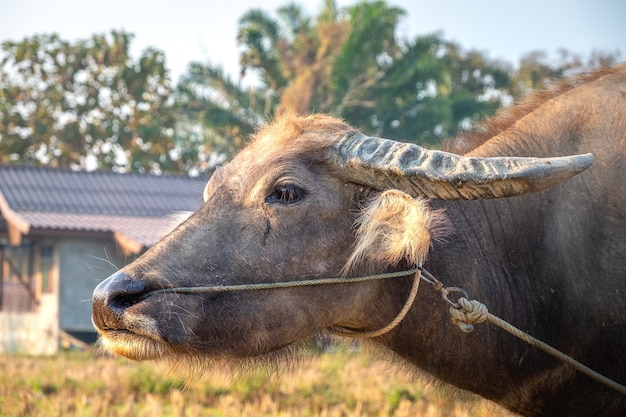 Close-up of a young buffalo in front of a farmhouse. pai, thailand.
