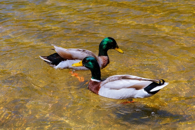 Close-up of a young couple of male and female ducks in love swimming clean lake