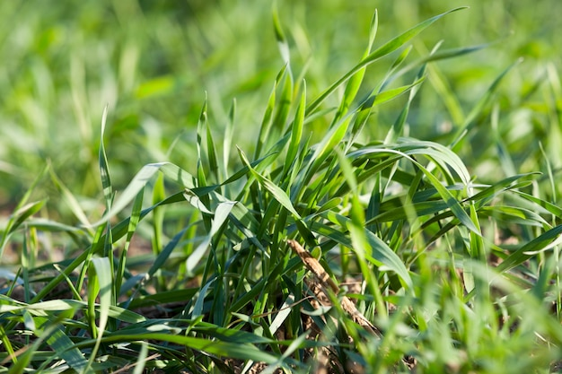 Close up young grass plants green wheat growing on agricultural field, agriculture, autumn season,