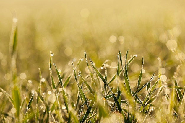 Close up young grass plants green wheat growing on agricultural field, agriculture, morning dew on leaves, defocus