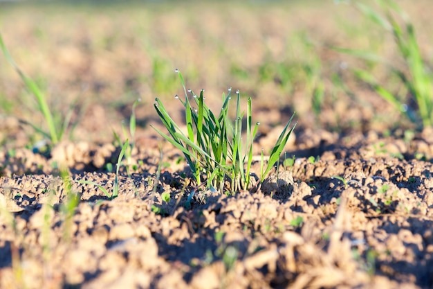 Close up young grass plants green wheat growing on agricultural field, agriculture, morning dew on leaves,