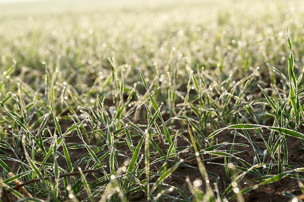 Close up young grass plants green wheat growing in the field of agriculture, agriculture