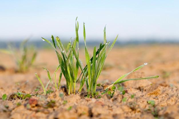 青い空を背景に、農業分野、農業で成長している若い草植物緑の小麦をクローズアップ