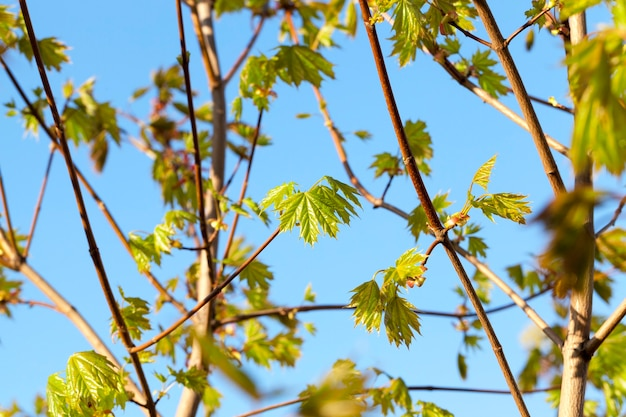 Close-up of young green leaves of maple on a background of blue sky. spring season