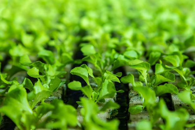 Close up of young hydroponics vegetables growing on water