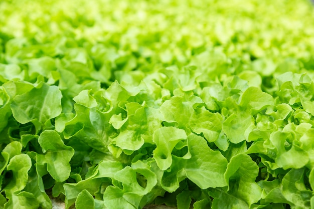Close up of young hydroponics vegetables