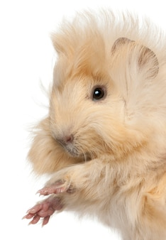 Close-up of young peruvian guinea pig, in front of white background