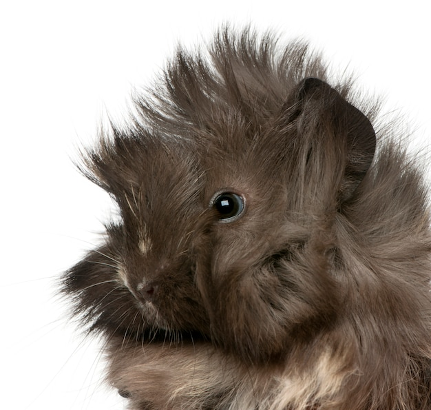 Close-up of young peruvian guinea pig in front of white background