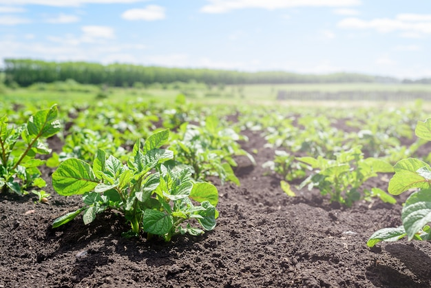 Close-up of a young potato shoot in the garden. potato plantation, agriculture, autumn harvest