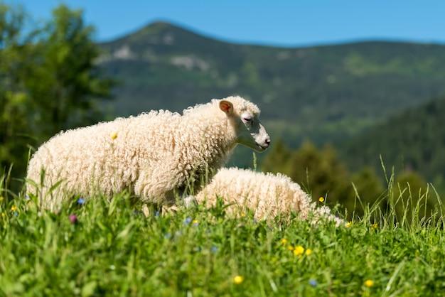 Заделывают молодых овец на лугу на ферме