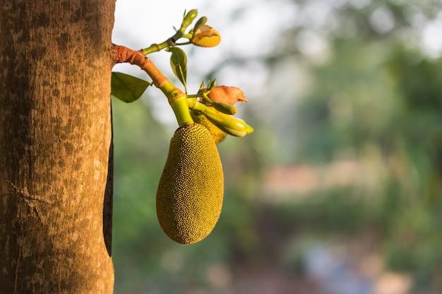 木の枝に若い小さな緑色のジャックフルーツを閉じて、背景をぼかします